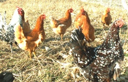 Laying hens and rooster 2006